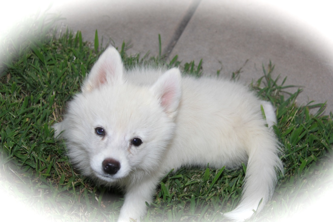 White Pomsky Puppy | www.pixshark.com - Images Galleries ...