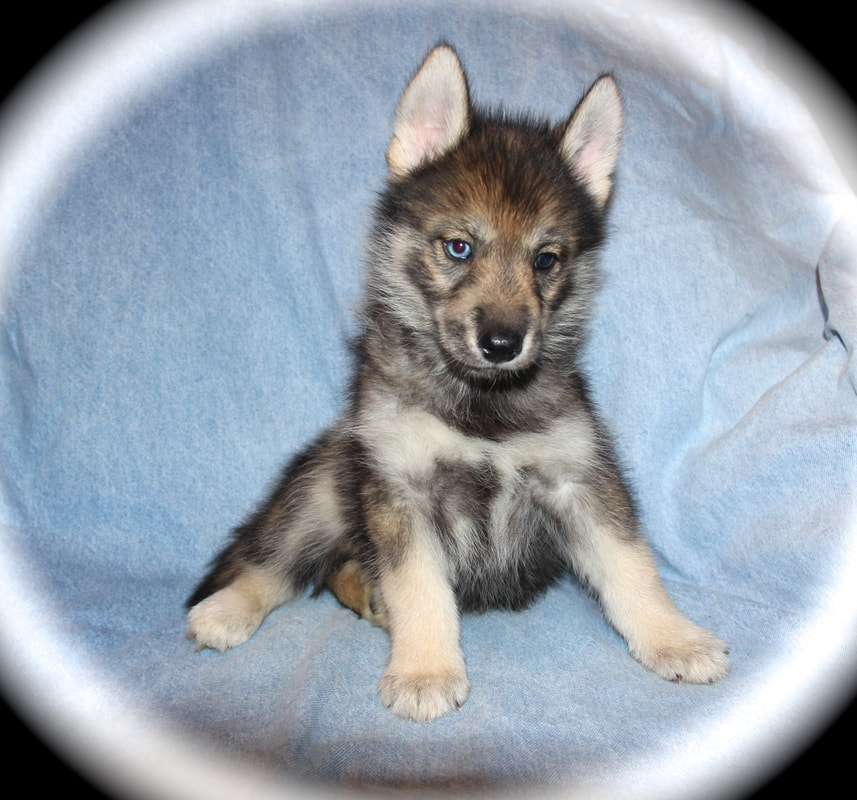 Puppies R Us Ranch - POMSKY